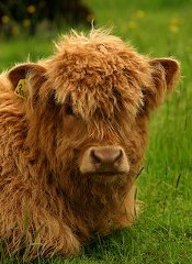 A Cute Highland Calf